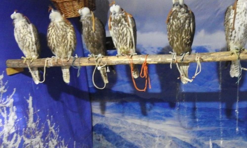 Хууль бусаар шонхор шувуу барьж явсан гадаад, дотоодыг иргэдийг саатуулжээ